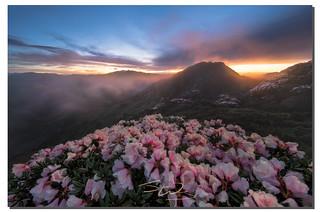 The spirit of a mountaineer,  合歡山杜鵑花, 合歡山, Taiwan