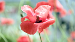 Poppy (Johnnie Shene Photography(Thanks, 1Million+ Views)) Tags: red wild plant flower macro nature floral beautiful horizontal canon lens wonder photography eos rebel dc spring interesting flora kiss day natural outdoor wildlife fulllength sigma tranquility nopeople korea depthoffield single poppy flowering awe sideview leafs freshness papaver lighteffect t3i x5 papaveraceae   fragility 600d backgroundblur 1770mm colourimage f284  foregroundfocus livingorganism   sideviewpoint
