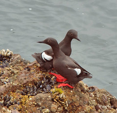 Black Guillemots Circling Each Other (ALLART1) Tags: pigeonpoint pacificcoast shorebirds blackguillemot