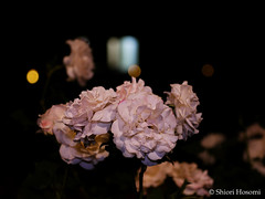 French Lace (Shiori Hosomi) Tags: flowers plants rose japan night tokyo nocturnal nightshot may rosa    rosales 2016  rosaceae    noctuary   flowersinthenight noctivagant 23