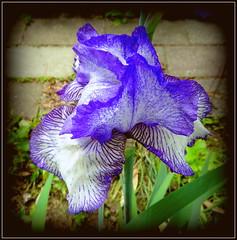 Natural Wonder (dimaruss34) Tags: iris newyork flower brooklyn image dmitriyfomenko