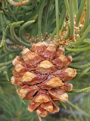 Great Basin NP Pinecone