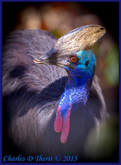 Cassowary (ctofcsco) Tags: 11600 1d 1div 20 200mm bird black blue brown canon cassowary colorado coloradosprings contrast denver ef200mm ef200mmf2lisusm eos1dmarkiv explore f2 iso100 mark4 markiv 2015 animal bokeh denverzoo explored geo:lat=3975024770 geo:lon=10494968870 geotagged nature northamerica statecapitol telephoto vinestreethouses wildlife wwwdenverzooorg zoo red shadows unitedstates usa best wonderful perfect fabulous great photo pic picture image photograph