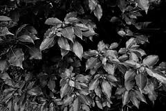 20160630_DP0Q3801 (NAMARA EXPRESS) Tags: street shadow blackandwhite plant monochrome japan leaf cloudy outdoor sigma osaka foveon quattro toyonaka dp0 namaraexp