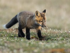 Discovering The New World (T0nyJ0yce) Tags: wild baby cute nature animals cub sweet wildlife adorable canine explore fox wildflowers kit pup mammals foxes redfox vulpesvulpes ontheprowl foxden canon7dmarkii tamron150600