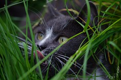 DSC_8021-5 (Kopiowanie) (Aga'Shots) Tags: pet cats macro cute eye nature grass animal cat kitty cateye
