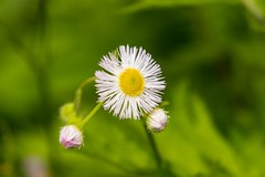 7K8A1673 (rpealit) Tags: mountain flower nature scenery wildlife management area daisy sparta fleabane