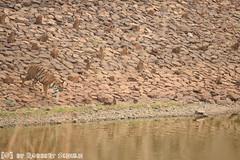 Bengal Tigress 'Sonam' at the Telia-dam (Robbert met dubbel B) Tags: park india lake nature water photography meer dam wildlife indian tiger natuur safari national april np tijger bengal tigress 2016 sonam telia nationaal wildlifephotography tadoba andhari bengaalse tijgerin wildfotografie teliya