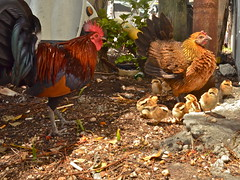 Chicken Family (nebulous 1) Tags: family chickens nature birds fauna nikon florida rooster keywest hen duvalstreet chickenfamily nebulous1