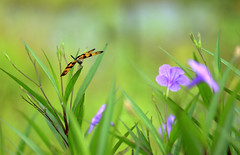 (yvone042488) Tags: dragonfly nature country outdoor flowers