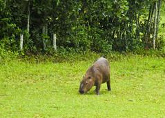 Capybaras (3 of 4) (Daniela Parra F.) Tags: capybaras capybara caviomorphs rodents giantrodent southamerica southamerican hystricognato caviomorfos roedores roedoresgigantes grazing social sociality roedoressociales rodentsocieties societies socialgroups rodent animales animals animal ratones giant sudamericano mamifero mamfero mammal mammals