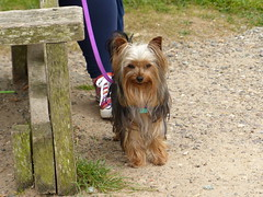 Missier - now nearly 11 months old. (FloraandFauna_2) Tags: dog headland missie anglesey lligwy