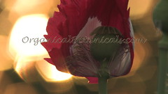 Danish Flag Papaver Somniferum Opium POPPY Pods n Flowers by- OrganicalBotanicals_Com 16 (gjaypub) Tags: flowers plants nature silhouette photography pod photos gardening bees seed seeds poppy poppies growing opium pods cultivation papaver somniferum morphine cultivating papaversomniferum 2016 potency poppyhead alkaloids organicalbotanicals