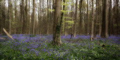 Bluebell Forest (*Gitpix*) Tags: wood flowers blue trees people plants tree nature leaves forest spring mood belgium sony natur pflanzen atmosphere blumen menschen treetrunk bloom april flowering blau blte forestfloor twigs wald bltter bluebell bume baum atmosphre stimmung springtime frhling blooming belgien zweige hallerbos baumstamm waldboden glockenblumen blhend forestsoil sel16f28 nex7