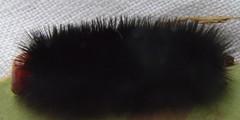 Lagarta caterpillar (robertoguerra10) Tags: orange black planta hair head caterpillar preta lagarta elastica peluda milhares ficcus hospedeira