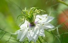 Nigelle de Damas (christophe.laigle) Tags: white flower macro fleur fuji ngc npc blanc nigellededamas xpro2 cheveuxdevnus