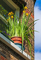 Connemara Flags on Windowsill (Gaz-zee-boh) Tags: flowers ireland london nature yellow garden nikon flags connemara windowsill n7 almostanything