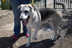 Stormzy (MerlinAnimalRescue) Tags: rescue dog animal wales husky shepherd north german merlin ged