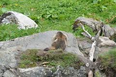 DSC_4736 (d90-fan) Tags: animals outdoors austria tiere sterreich natur pferde schnecke rauris fohlen hohetauern tauern krumltal murmeltiere raurisertal