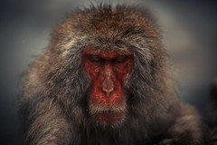 Thinker (moaan) Tags: monkey yamanouchimachi nagano japan jp snowmonkey japanesemacaque bokeh dof bathingmonkey jigokudanispa jigokudanisnowmonkeypark expression animal canoneos5dmarkiii zeissmakroplanart2100ze makroplanart2100