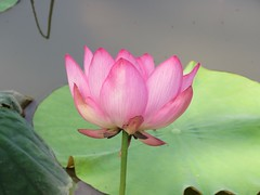 lotus in spring (oneroadlucky) Tags: pink plant flower nature waterlily lotus