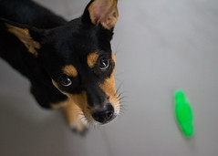 Play fetch with me! Plz!.. Plz!.. Plz!.. (Khanh To) Tags: dog pet game home fetch