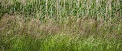 5DSA0973_Lr6_40s1s (Richard W2008) Tags: cathkinmarshwildlifereserve scottishwildlifetrust scotland nature flora fauna