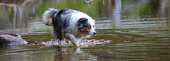 Bailey (alice_winkler) Tags: dog lake water animal see wasser hund australianshepherd
