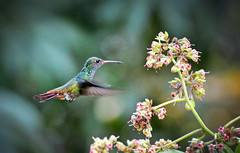 Hummingbird (jamiegaquinn) Tags: hummingbird bird belize rufoustailed amaziliatzacatl centralamerica fieldtrip fieldwork