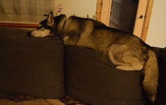 Couch? What couch? (Qabluna) Tags: dog husky