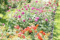 11850719_10153105242442076_4449404023434135104_o (jmac33208) Tags: park new york roses rose garden central schenectady