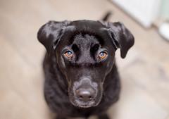 Dog eyes (LMJ Productions) Tags: dog pet black animal eyes labrador