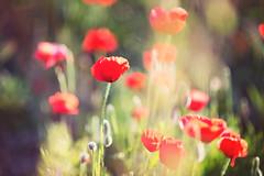 Poppy (crishernandezphotography) Tags: flowers sunset red sun flores flower landscape rojo poppy campo mallorca amapolas beautifullandscape rojopasion