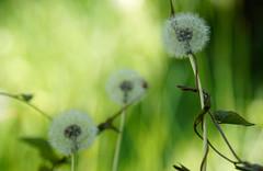 Three Wishes (charhedman) Tags: macro green bokeh wishes dandelions seedheads sony100mmf28