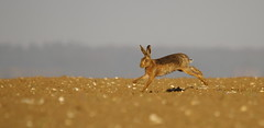Beet it.Brown Hare (trickydicky1964) Tags: brown nature spring hare wildlife north norfolk 7d handheld british mammals hares brownhare europaeus lepus 2013 sigma150500mmf563dgoshsm trickydicky1964 stiffkeyvalley