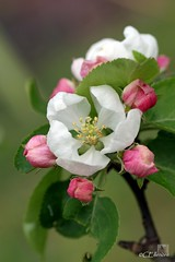 Apfelblte  / apple blossom (2) (Ellenore56) Tags: trees light inspiration color colour detail macro reflection tree apple floral fruits weather garden botanical licht photo flora focus foto blossom magic perspective may explore mai bloom vista imagination outlook moment makro blte magical farbe reflexion bume garten baum apfel flowerpower wetter perspektive challenging appletree fascinating reflektion apfelbaum dud appleblossom augenblick fokus florescence flowerbud botanik goldendelicious apfelblte faszination explored bltenzauber pflanzenwelt faszinierend apfelsorte bltenknospe tafelobst sonya350 kulturapfel ellenore56 dessertfruit tafelobstsorte 09052013 goldenerkstlicher fruitvarieties
