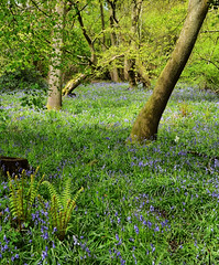 Bluebells in Prior's Wood, North Somerset (CarolynEaton) Tags: wood england woodland nikon somerset bluebell englishcountryside northsomerset prior woodlandwalk portbury priorswood gloriousmorning d7000