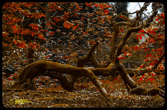 Fallen, not Broken (mikesteph0) Tags: old tree nature woodland scenery natural outdoor foliage leafs