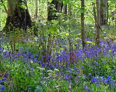 dappled (glenfinlas) Tags: bluebells scotland woods purple islay dappled bridgend bluebellwood