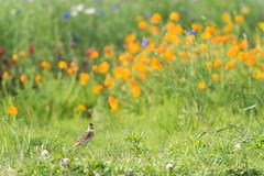 (dpf1089) Tags: flower bird nikon     alaudaarvensis   afsnikkor70200mmf28gedvrii