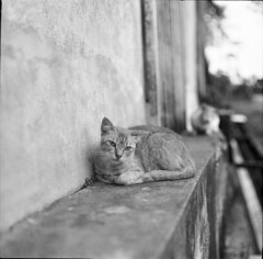 """hello kitty' (reza tool) Tags: blackandwhite monochrome cat mediumformat backalley ilford kuching kucing kiev60 carlzeiss biometar filmnotdead istillshootfilm pusak"