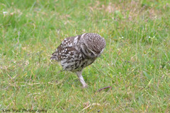 LittleOwl_16062013_5a (Kim Wall Photography (Purplesun2001)) Tags: somerset littleowl nyland kimwallphotography