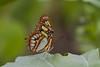 Siproeta stelenes (kruytflo) Tags: butterfly blijdorp mariposa vlinder siproetastelenes amazonica rotterdamzoo me2youphotographylevel2 me2youphotographylevel1