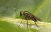 Colourful bug (Elisabeth, Kelev, Tama, Mazal) Tags: nature bug garden insect colourful longleggedfly poecilobothrusnobilitatus slankpootvlieg
