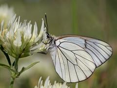 Aporia crataegi (Eugene Nature Observer) Tags: italy white butterfly italia abruzzo laquila gransasso aporia