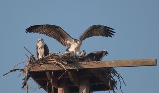 ... Osprey parents and 2 offspring squawking over a landed salmon [Try L]