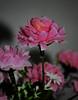 ورده (anasprinso) Tags: وردة ورده