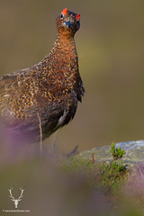 Curious (James Shooter) Tags: native heather derbyshire peakdistrict seasonal grouse shooting moor gamebird moorland upland redgrouse ukwildlife lagopuslagopusscotica