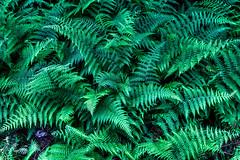 Campo de helechos (fmsagarcia@yahoo.com) Tags: fern helecho ferns thefinalfrontier helechos flickrfriday campodehelechosfernfernshelechocampodehelechos