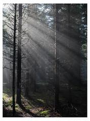 sun rays in the forest (erikoo) Tags: sun nature netherlands forest de nederland natuur rays friday bos 13th gelderland vrijdag zonnestralen parkdehogeveluwe dertiende photographyforrecreation